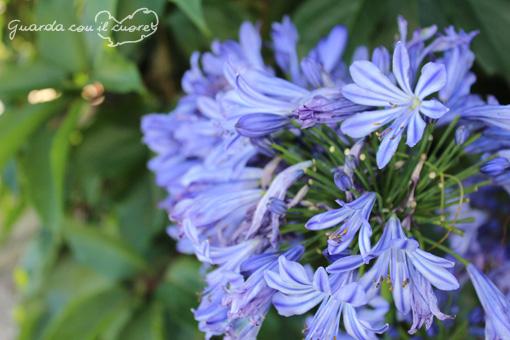 fiore di agapanthus