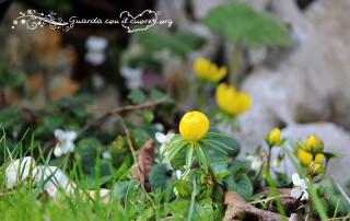 aconito fiore